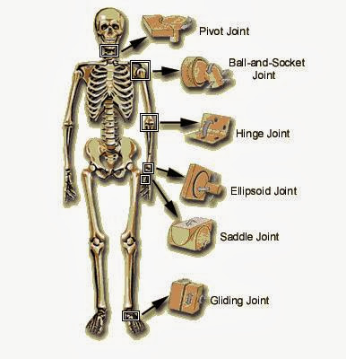 what are the major joints of the human body