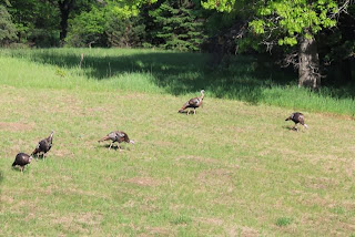 a flock of five wild turkeys
