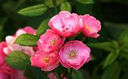 Rosas de colores para el 10 de mayo IX (12 fotos) (rosas de colores para el de mayo by www)
