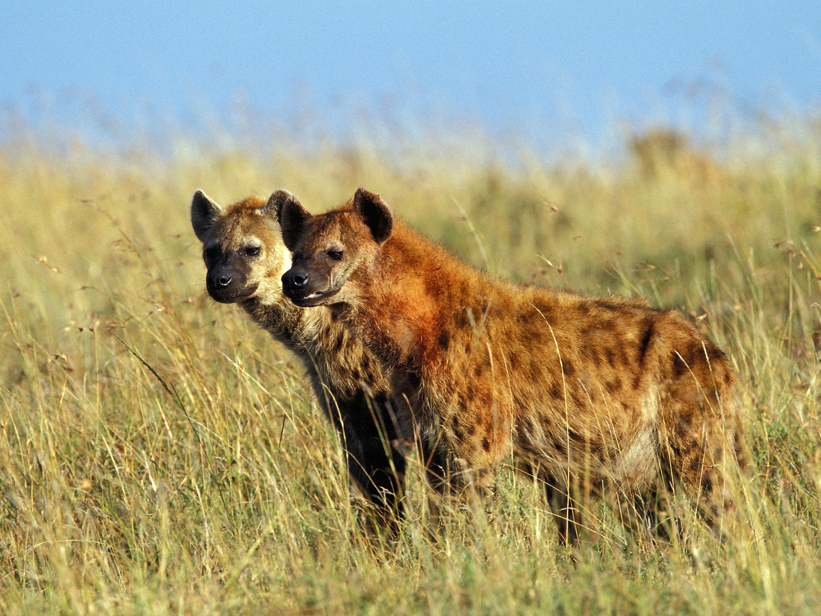 Spotted+Hyenas+Masai+Mara+Kenya.jpg
