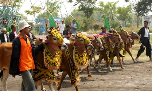 Image result for bull racing festival in indonesia