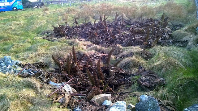 Gunnera in Portvoller, Isle of Lewis, Outer Hebrides, Scotland. First week of January 2016