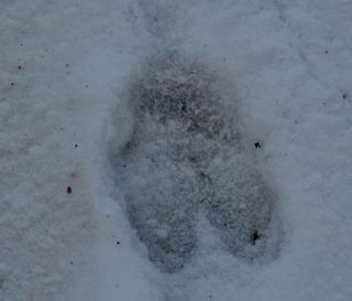 photo of deer track in old snow