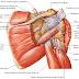 Músculos e Movimentos da Cintura Escapular