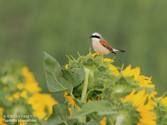 Red-backed Shrike photography in Bulgaria