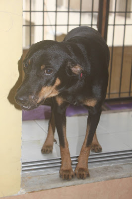 Doberman for Adoption