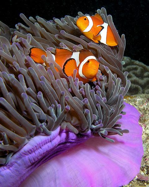 أجمل 10 أسماك ملونة في عالم البحار '' بالصور '' 479px-Anemone_purple