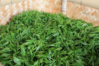 The fresh first flush Japanese green tea leaves are shown here in a basket waiting to be steamed and then handrolled into Japanese Temomi Shincha Tea