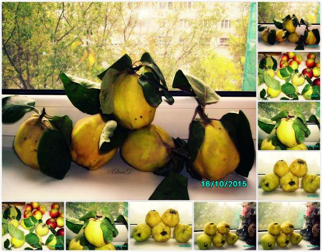 Quinces in autumn.
