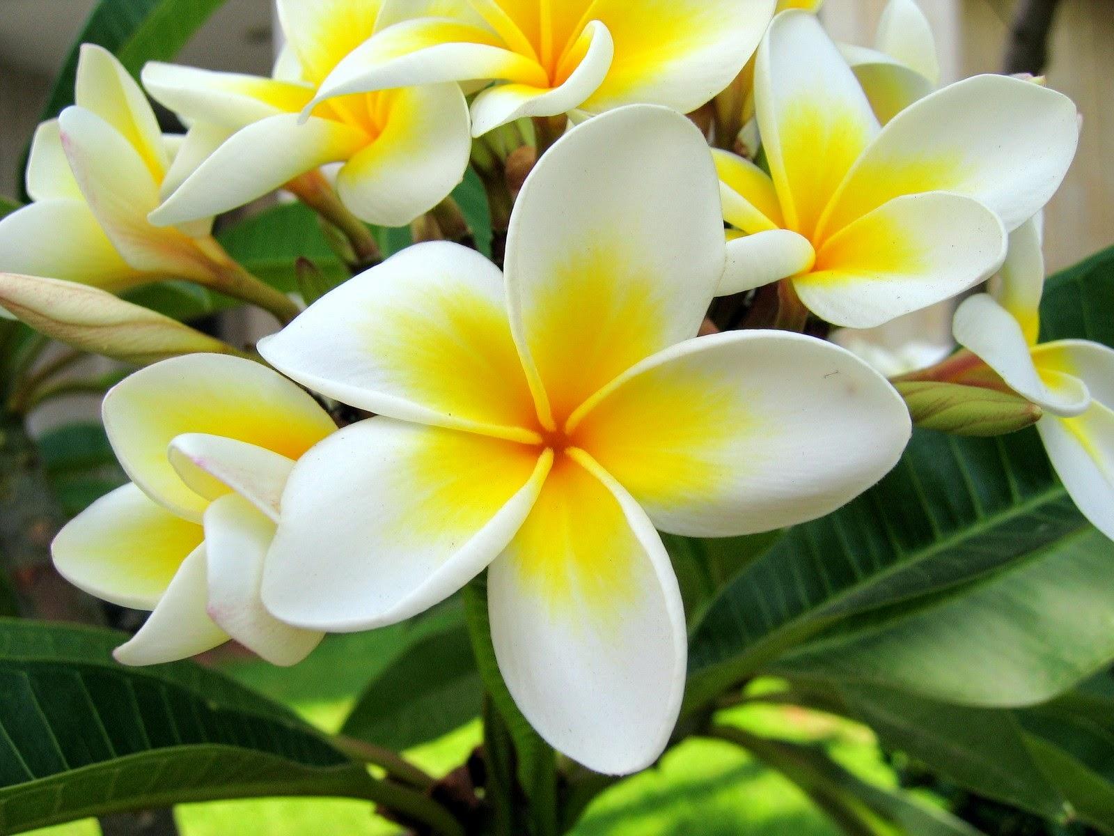 Khasiat Bunga Kamboja untuk Kesehatan