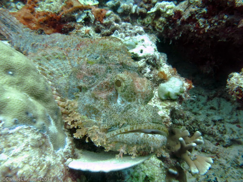 Scorpion fish at Halik