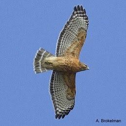 Red-shouldered Hawk (adult)