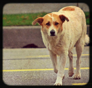 http://www.4freephotos.com/Stray_dog_on_street-limage-957d122db7bb638a72e1a3781974cebe.html#.UYSCCLXCaSo