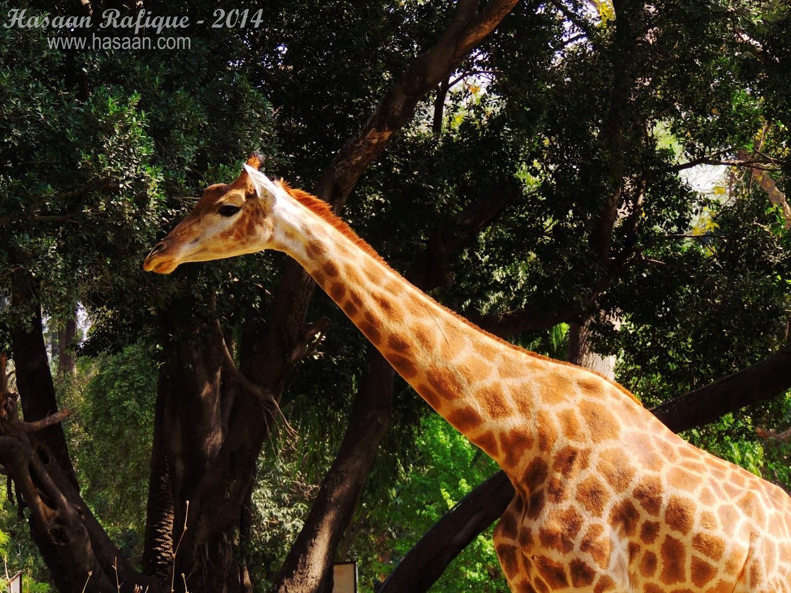 A towering giraffe.