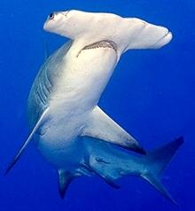 Pez Martillo o Tiburón Martillo con vista desde abajo