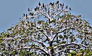 Arti Mimpi Ayam Terbang Ke Pohon