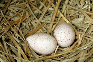 Kalkoen Eieren