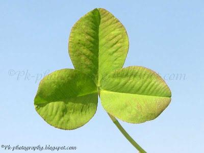 3 Leaf Clover