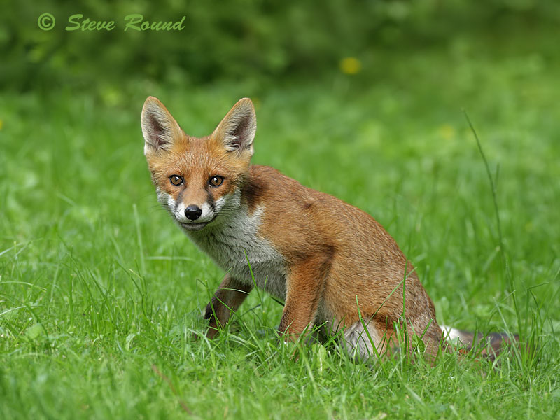 red, fox, mammal, nature, wildlife