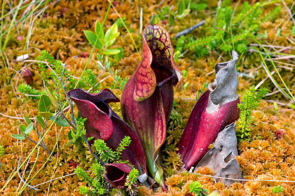 Nova Scotia; Indian Path Commons; Pitcher Plant