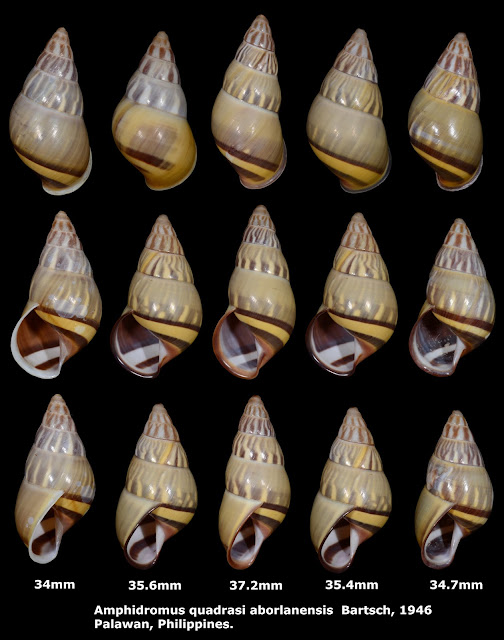 Amphidromus quadrasi aborlanensis 34 to 37.2mm