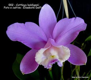 Cattleya candida, Cattleya obrieniana, Cattleya acembergii, Epidendrum harrisonianum. Epidendrum loddigesii, Epidendrum violaceum.