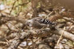 Arabian Woodpecker (Dendrocopos dorae)