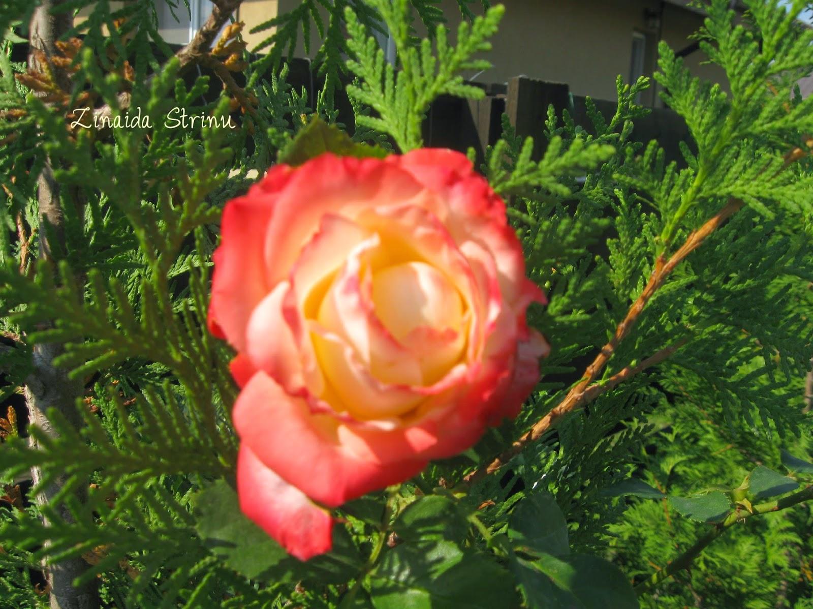 trandafiri-in-gradina-pe-20-octombrie-2