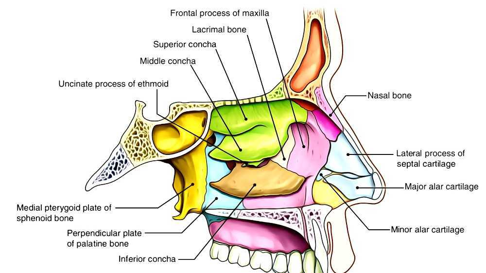 Uncinate Process Nasal Anatomy Diagram - Trusted Wiring Diagrams •