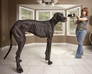 Zeus measures 44 inches from paw to withers, with his owner Denise