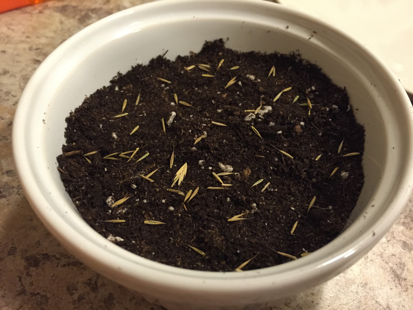 blue fescue seeds on soil