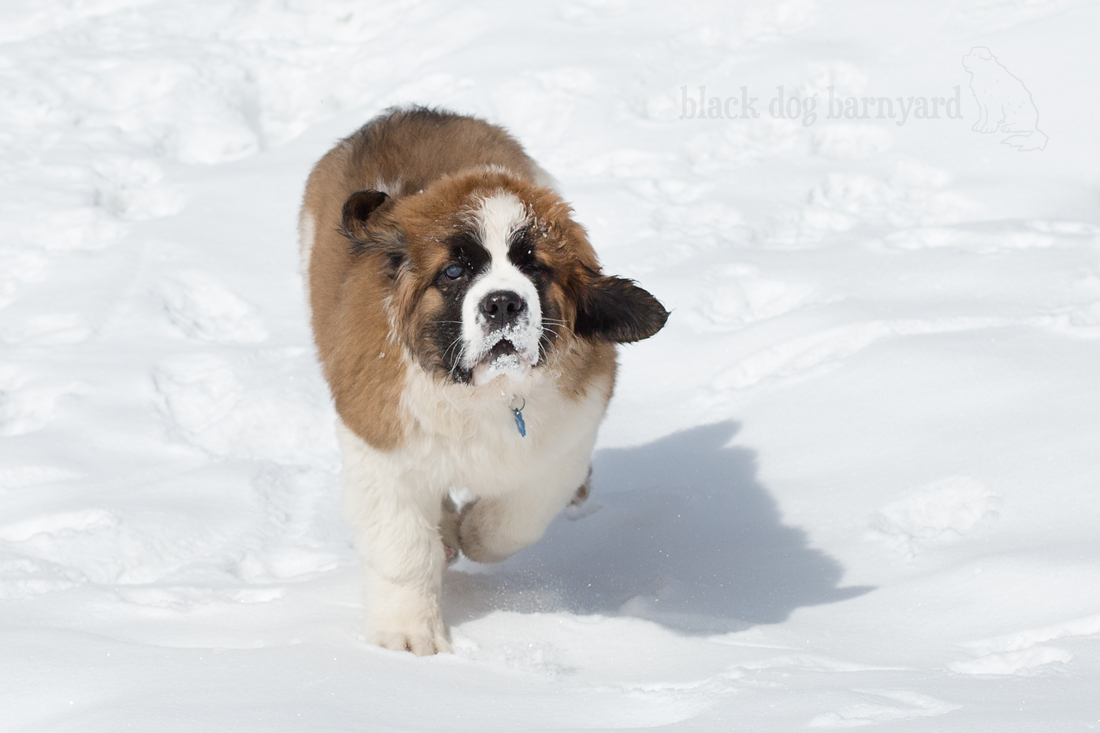 What Age To Neuter A Giant Breed Dog