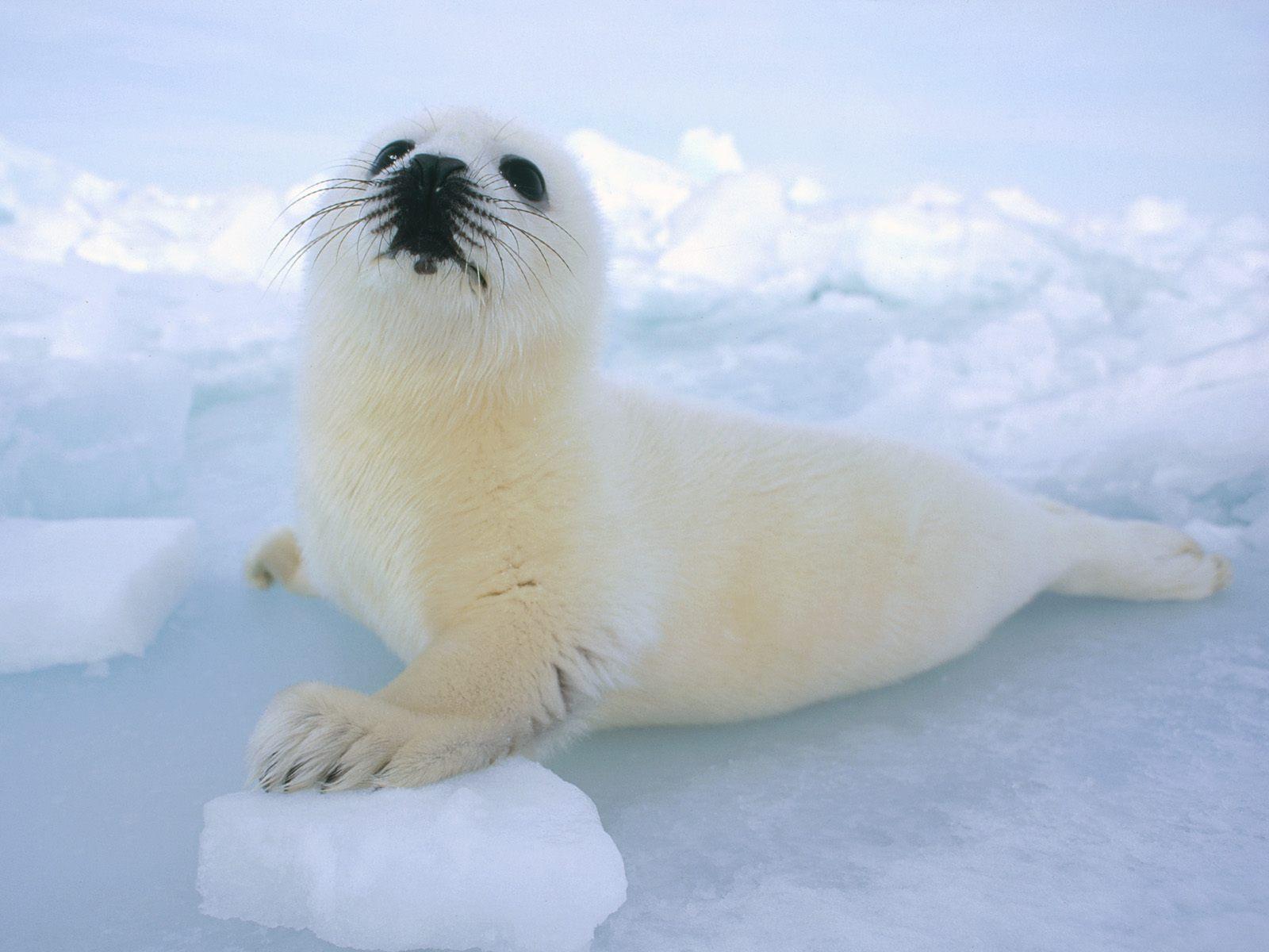Cute Baby Harp Seal harp seals image