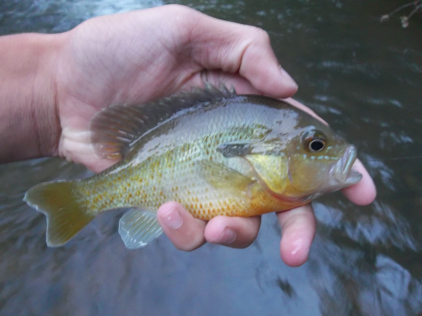 ... sunfish redear sunfish green sunfish spotted sunfish redbreast sunfish