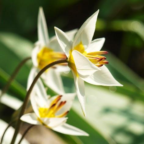 Botanisk tulipan, Tulipa turkestanica, hvide tulipaner der blomstrer tidligt.