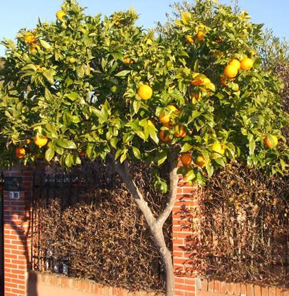 El rinc n del tecn filo protect ip act y el rbol de naranjas - Naranjas del arbol a la mesa ...