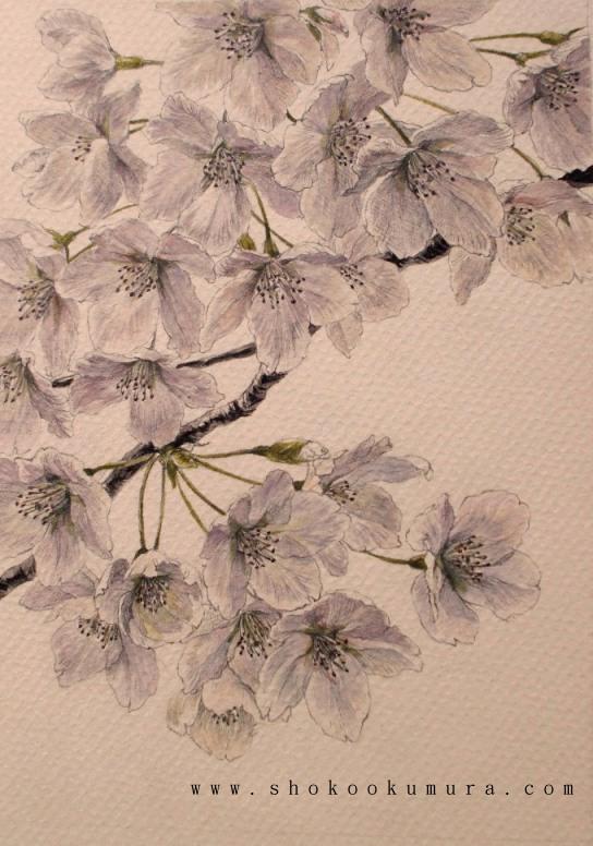 Pittura giapponese di shoko okumura marzo 2013 for Fiori di ciliegio dipinti