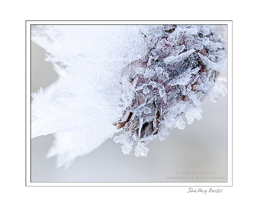 Winter lace: White hoar frost © SB Copyright Shelley Banks, all rights reserved.