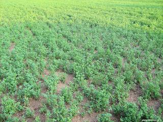 Σπορά καλλιέργεια τριφυλλιού