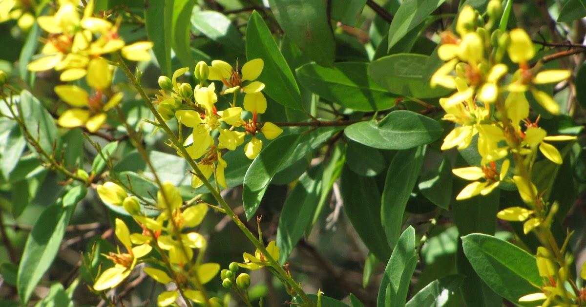 Galphimia gracilis galphimia flore de l le de la r union for Entretien jardin reunion