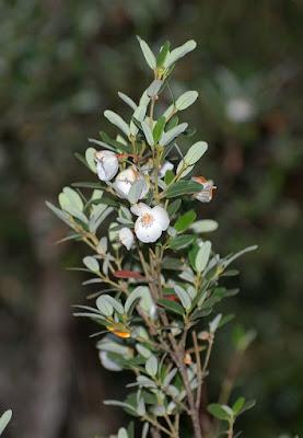 Leatherwood (Eucryphia lucida)