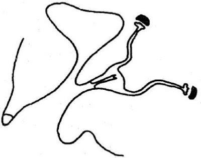 Schéma de la disposition anatomique. Les gonades sont des testicules