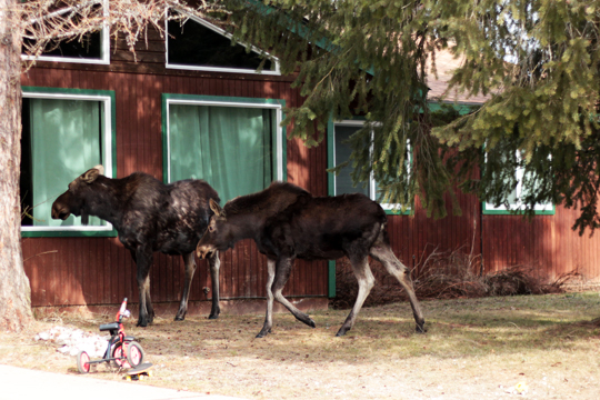 moose on Sandpoint streets Idaho