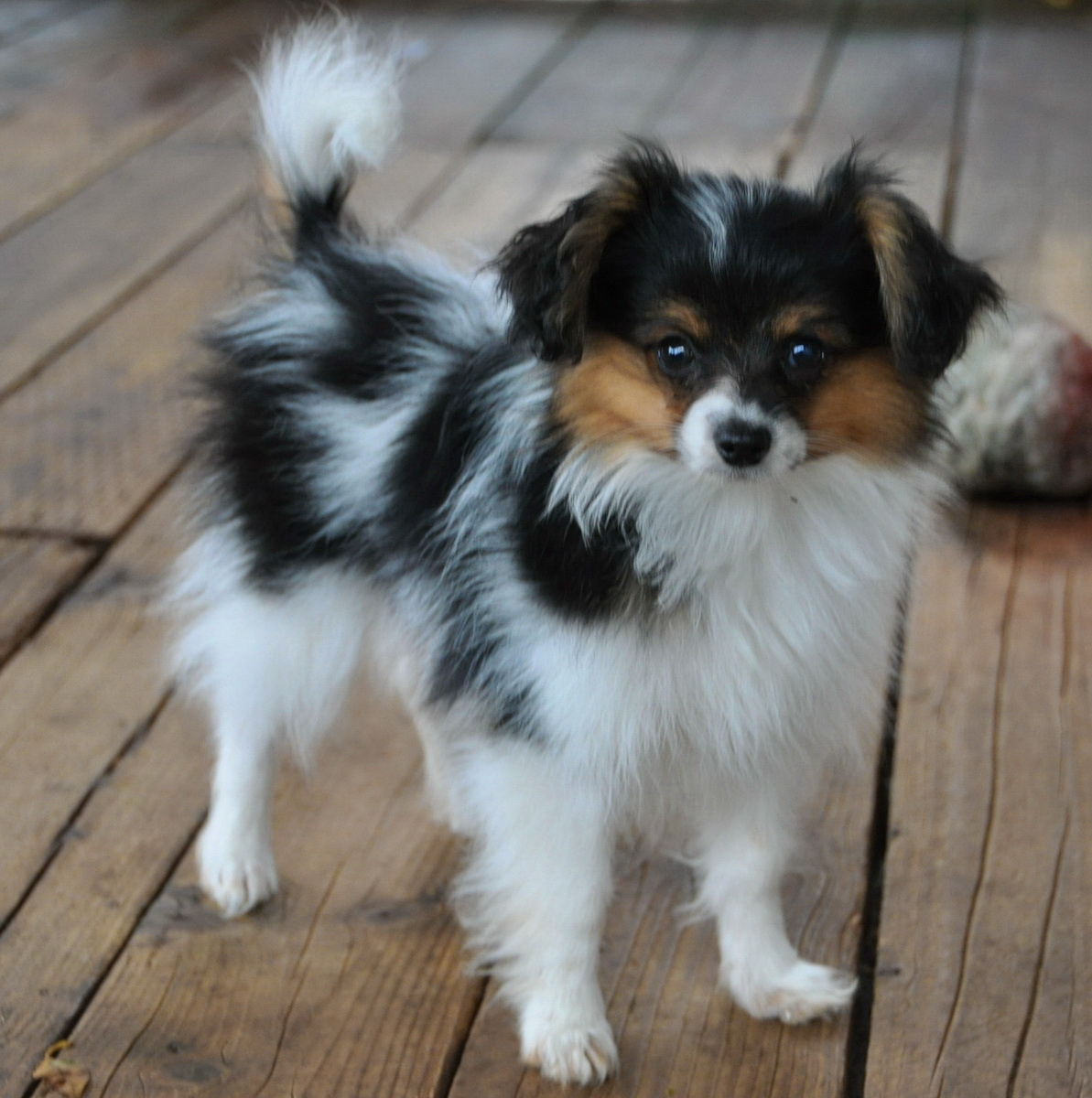 Road's End Papillons : 14 Week old Papillon (Phalene) Puppies