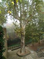 El Plàtan de la Font Gran de Taradell