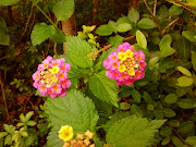 Beautiful and Fragrant lantana flowers. Lantana flowers are native to .