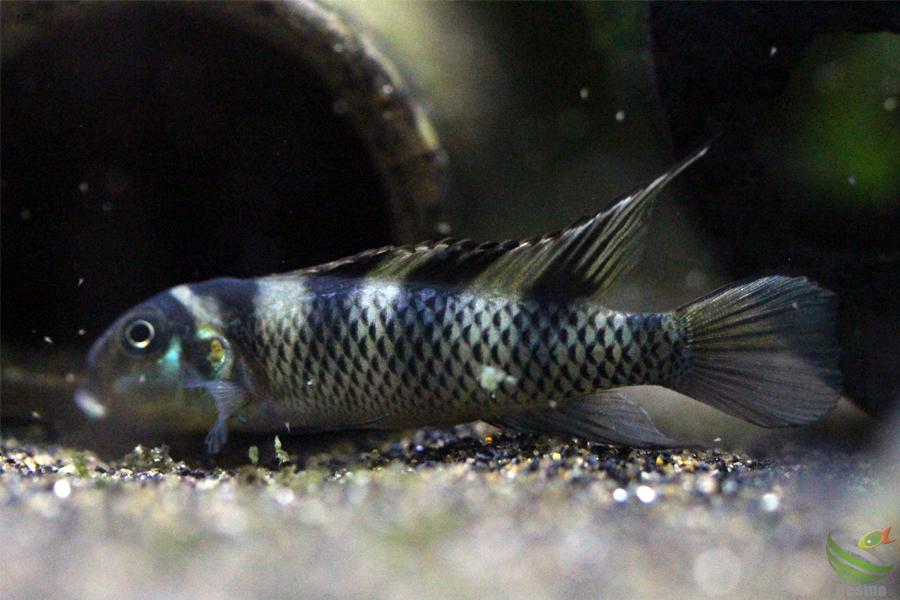 ナノクロミス トランスベスティタス(Wilhelm/Br.)