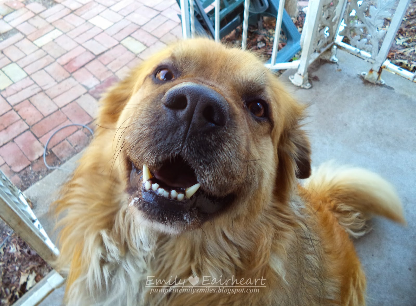 Rocky at four years old German Shepherd and Golden Retriever Mix