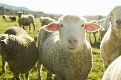 Stres Ujian, Mahasiswa Setubuhi Domba
