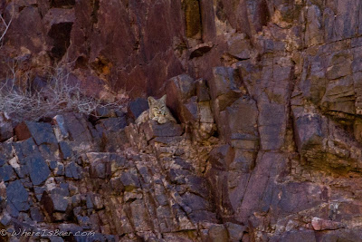 Bobcat spotting, Grand canyon, colorado, river, Chris Baer